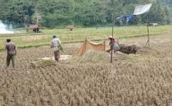 Harga Gabah di Pangandaran Tak Sebanding Biaya Pengeluaran Petani