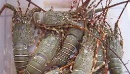 8 Cara Jitu Budidaya Lobster Air Tawar Peluang Bisnis yang Menjanjikan