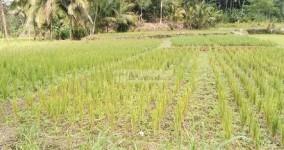 Pangandaran Dilanda Kekeringan, Puluhan Hektare SawahTerancam Gagal Panen