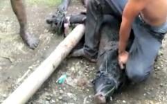 Seorang Warga Terluka Saat Menangkap Babi Hutan Masuk Kampung di Pangandaran