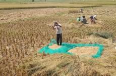 Petani di Pangandaran Keluhkan Harga Gabah Anjlok Hingga Rp 3.100 per Kg