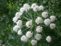 Mengenal Hemlock Water Dropwort, si Putih Cantik yang Mematikan