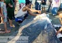 Lagi-lagi, Naga Bintang Terdampar di Pantai Madasari Pangandaran