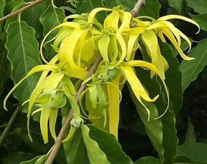 Bikin Merinding, 8 Bunga yang Bisa Mendatangkan Mahluk Halus, Ada Kenanga Hingga Mawar