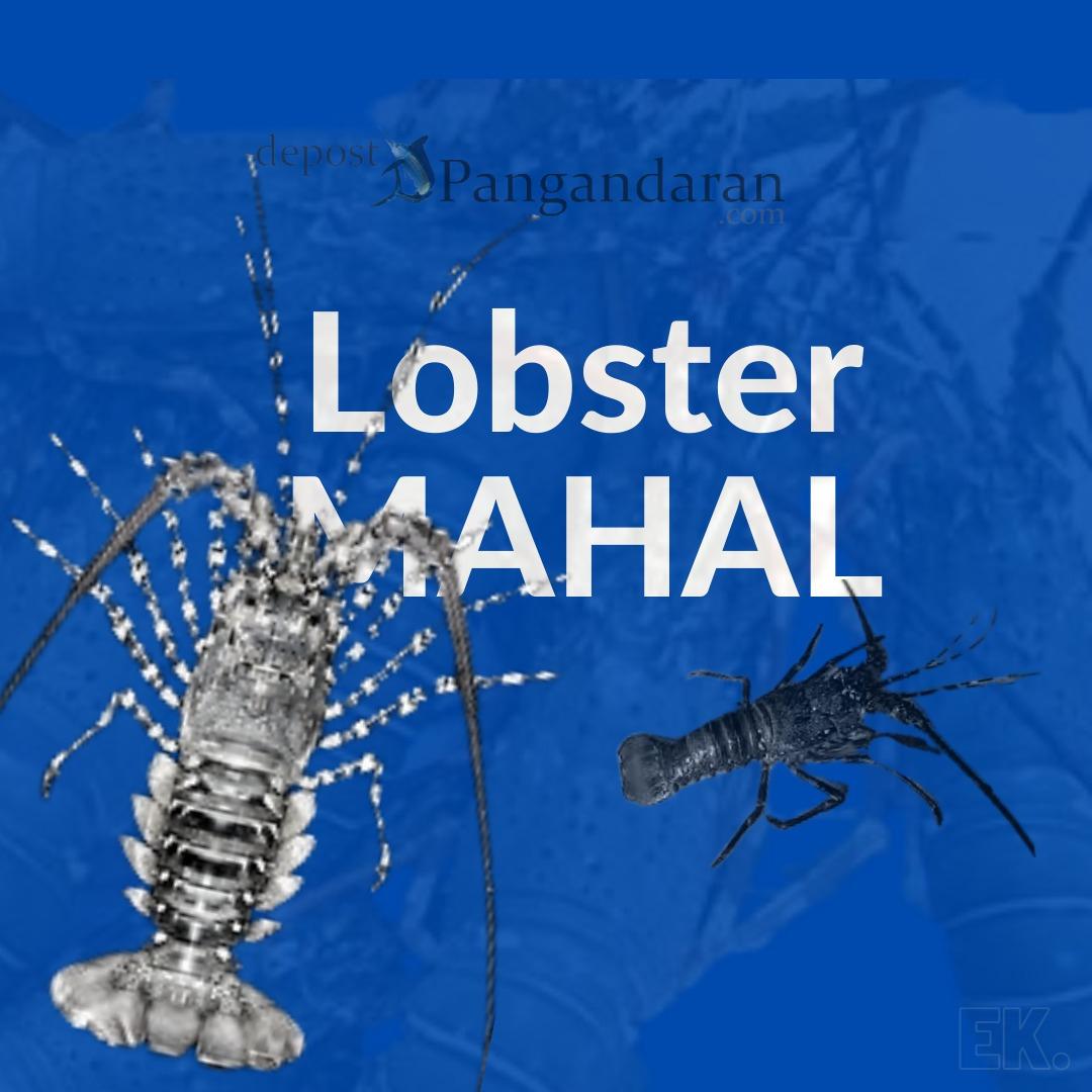 Ini Dia Jenis Lobster Mahal yang Hidup di Perairan Indonesia