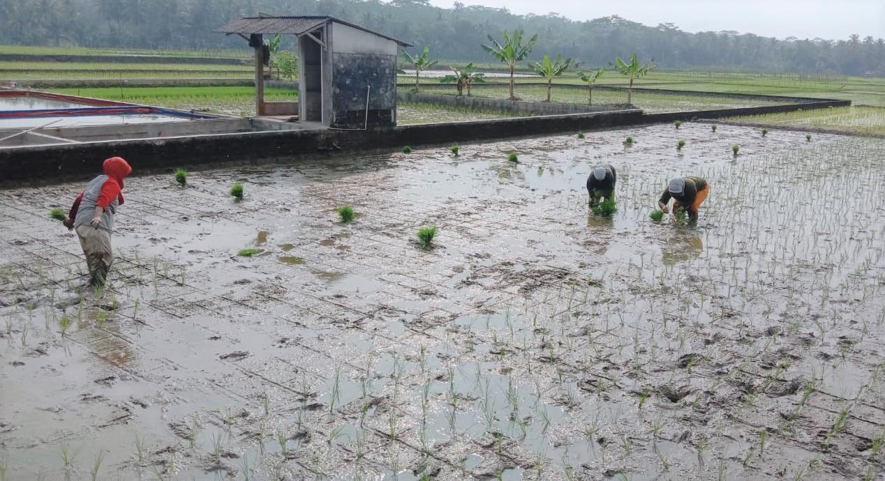 Asuransi Usaha Tani Padi, Jadi Solusi Petani Ketika Alami Gagal Panen