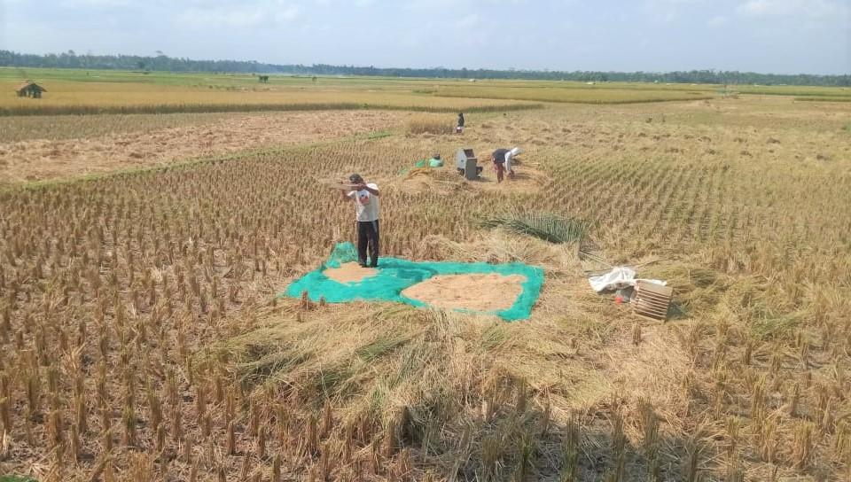Supaya Tidak Merugi, Petani di Pangandaran Lakukan Panen Padi Serentak