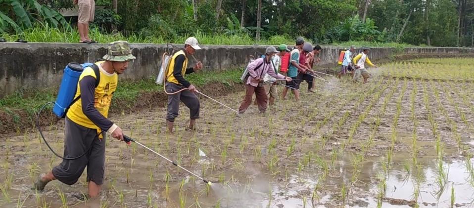 Petani di Pangandaran Lakukan Ini Ketika Padi Siap Panen Diserang Hama Wereng Batang Coklat